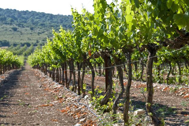 latium local vineyard