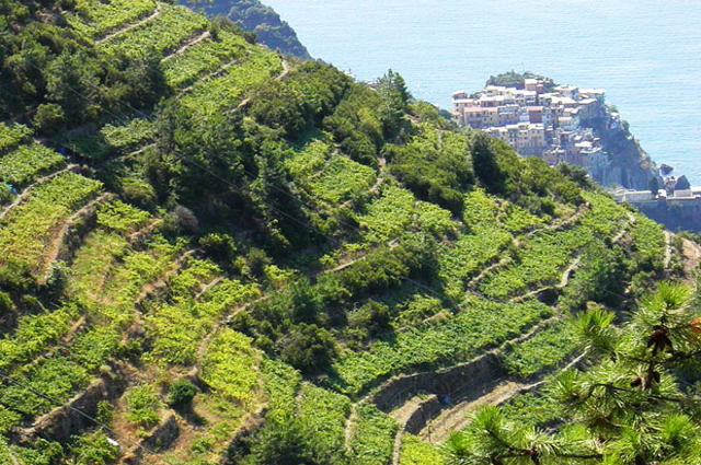 Liguria vineyard