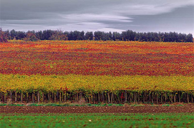 Molise vineyard