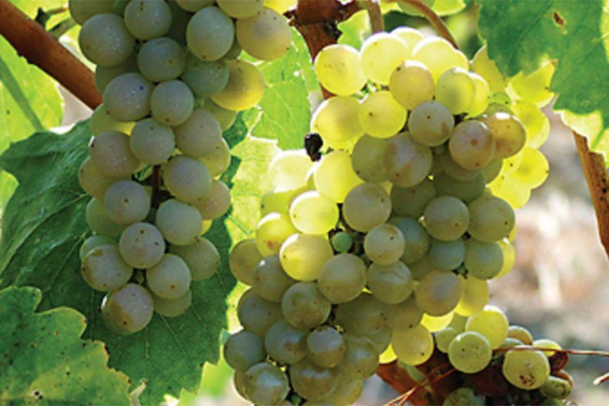 fiano grape license free image