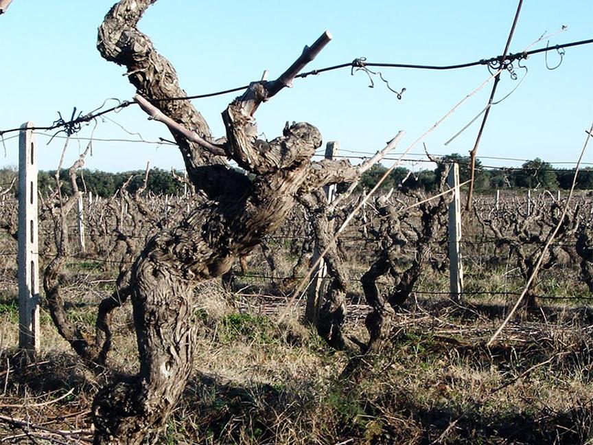 old-vine-primitivo